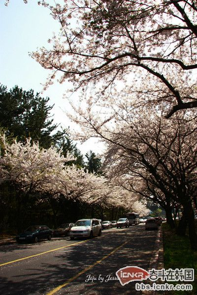 韩国济州岛樱花烂漫的时节